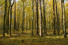 Höstlig gul skog på en solig dag royaltyfria bilder