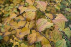 Höstlig lövverk av spireabusken Royaltyfria Foton