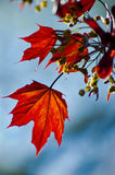 höstlig leaveslönn Royaltyfri Fotografi