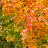 höstlig leaveslönnyellow Arkivbild