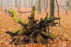 höstlig skog Fotografering för Bildbyråer