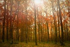 Höstlig skog för guld- nedgång arkivfoton