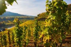 Höstlig vingård på Mosellen i Tyskland Fotografering för Bildbyråer