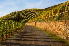 Höstlig vingård på Mosellen i Tyskland Arkivbild