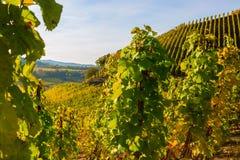 Höstlig vingård på Mosellen i Tyskland Arkivbilder