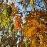 Höstliga färger av Dawn Redwood i aftonljus royaltyfria bilder
