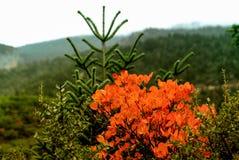 Höstliga färger av sörjer trädskogen på monteringen Taygetus Arkivfoto