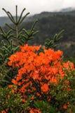 Höstliga färger av sörjer trädskogen på monteringen Taygetus Royaltyfria Bilder