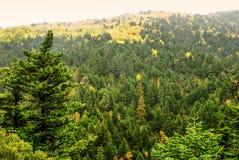 Höstliga färger av sörjer trädskogen på monteringen Taygetus Fotografering för Bildbyråer