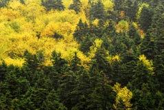 Höstliga färger av sörjer trädskogen på monteringen Taygetus Royaltyfri Bild