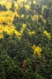 Höstliga färger av sörjer trädskogen på monteringen Taygetus Royaltyfri Foto