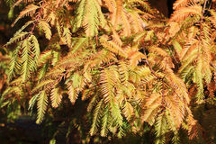 Höstliga filialer av gryningredwoodträdet, Metasequoia Arkivfoton