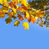 Höstliga gula lönnlöv Arkivbild