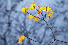 Höstliga gulingsidor på kust- träd Arkivbilder