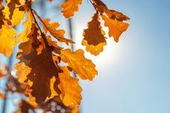 Höstliga kulöra blad av en ek Arkivfoto
