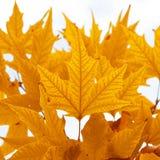 höstliga leaves royaltyfria bilder