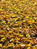 höstliga leaves Royaltyfri Foto