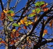 Höstliga sidor av det kastanjebruna trädet Arkivbilder