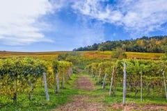 Höstliga vingårdar i Piedmont, Italien Arkivbild