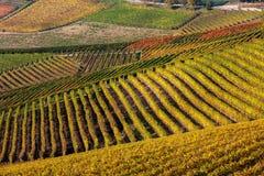 Höstliga vingårdar i rader Arkivfoton