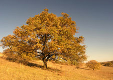 höstliggandetree Royaltyfri Bild