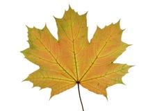 Höstligt blad av ett lönnträd som isoleras på vit bakgrund Arkivbild