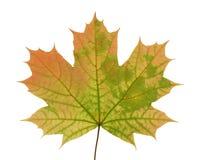 Höstligt blad av ett lönnträd som isoleras på vit bakgrund Royaltyfri Bild