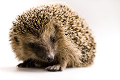 höstligt djur Fotografering för Bildbyråer