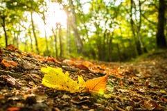 Höstligt fallande blad i skogen Arkivfoto