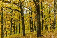 Höstligt gult, trän, lövverk, bakgrund, botanik, brunt Royaltyfri Foto