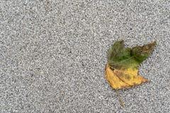Höstligt missfärgat blad på en grå bakgrund med överflöd av snuten arkivbilder