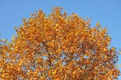 Höstligt träd och blå himmel Fotografering för Bildbyråer