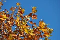Höstligt träd och blå himmel Arkivfoto
