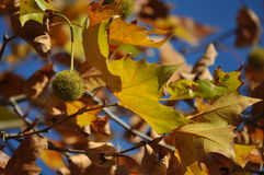 Höstligt träd och blå himmel Arkivbild