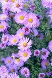 Höstlilan blommar asterbusken Arkivbilder