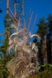 Höstluddpil-ört, som växte i skogen Royaltyfri Foto