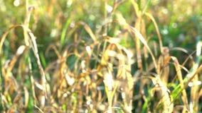 Höstlynnegräsplan och guling gräs att växa i jordskina på solstrålar, svindel från ny luft, bakgrund lager videofilmer