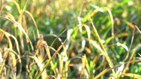 Höstlynnegräsplan och guling gräs att växa i jordskina på solstrålar, svindel från ny luft, bakgrund stock video