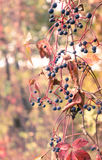 Höstmorgon i träna wild filialdruvor Royaltyfria Foton