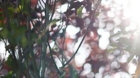 Höstnaturen, röda sidor skimrar i solen lager videofilmer