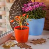 Höstordning från dekorativa peppar och krysantemum Fotografering för Bildbyråer