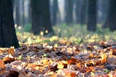 Höstsidor i en solig skog Arkivbilder