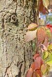 Höstsidor mot skället av ett träd Arkivfoto