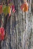 Höstsidor mot skället av ett träd Arkivbilder