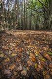 Höstsidor på skoggolv i Skottland Arkivfoto