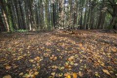 Höstsidor på skoggolv i Skottland Arkivbild