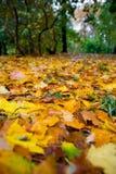 Höstsidor som är stupade av ett träd regnnedgångar på dem Fotografering för Bildbyråer