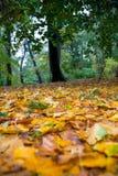 Höstsidor som är stupade av ett träd regnnedgångar på dem Royaltyfri Fotografi