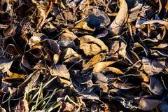 Höstsidor som täckas i frost med solen som skiner på tjänstledigheterna Arkivbild