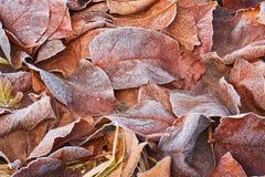 Höstsidor som täckas i tidig frost Arkivbilder